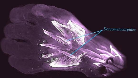 İnsan embriyosu içinde farklı bir doku keşfedildi